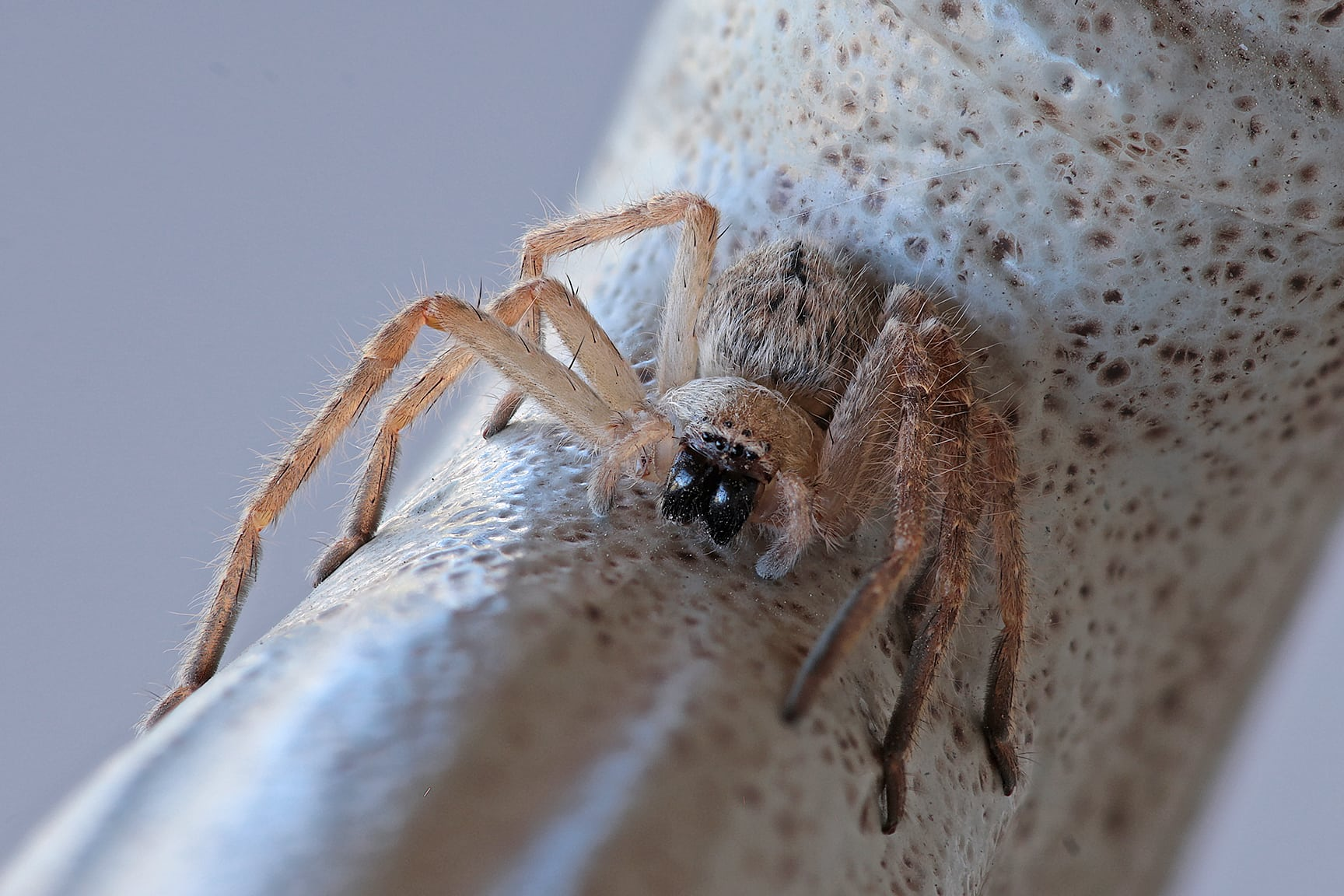 Picture of Olios giganteus (Giant Crab Spider) - Eyes