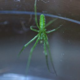 Featured spider picture of Tetragnatha viridis
