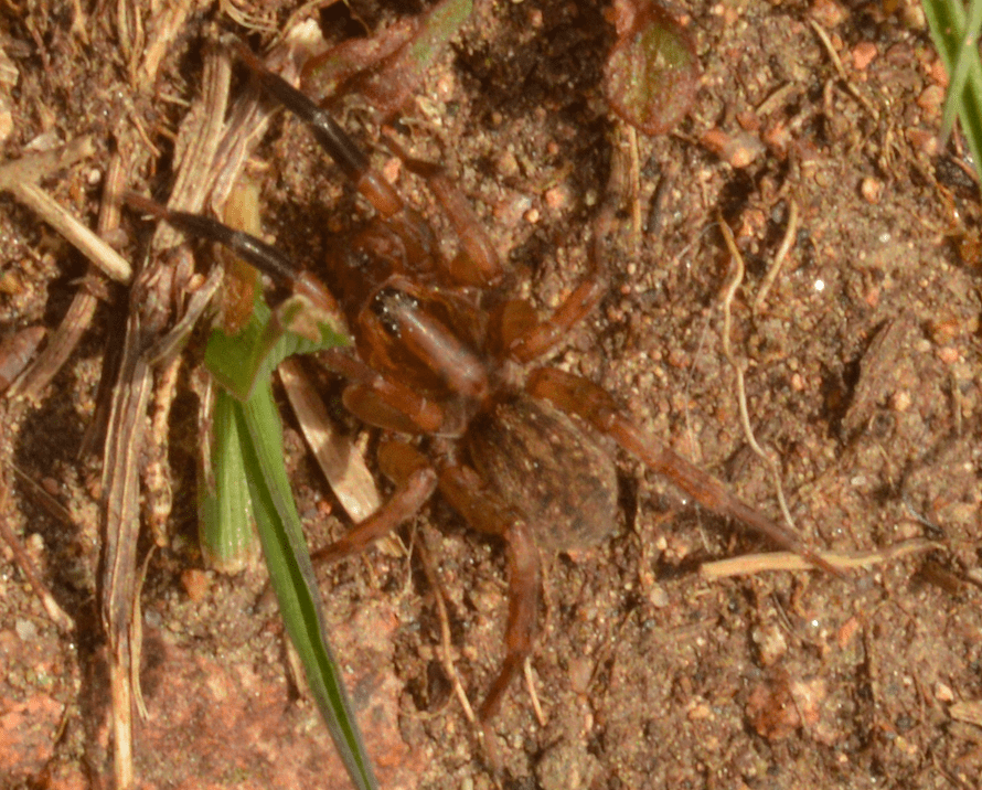 Picture of Trochosa spinipalpis - Dorsal
