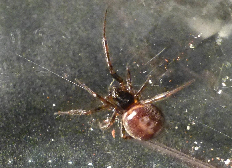 Picture of Steatoda borealis - Dorsal