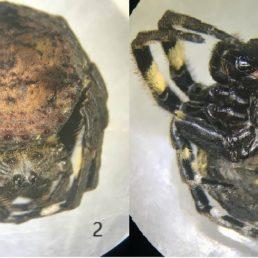 Featured spider picture of Caerostris sumatrana