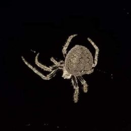 Featured spider picture of Araneus andrewsi