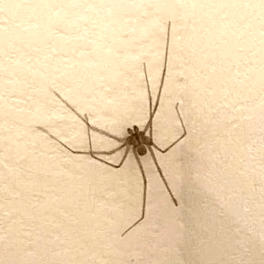 Picture of Pholcidae (Cellar Spiders) - Male - Dorsal
