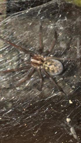 Picture of Eratigena spp. - Dorsal,Webs
