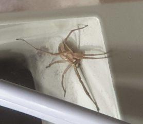 Picture of Pisaura mirabilis (European Nursery Web Spider) - Lateral