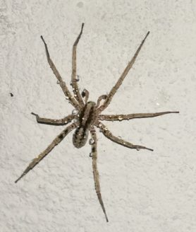 Picture of Ctenidae (Wandering Spiders) - Male - Dorsal