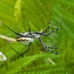 Featured spider picture of Argiope catenulata (Grass Cross Spider)