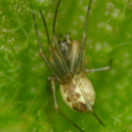 Featured spider picture of Anelosimus vittatus