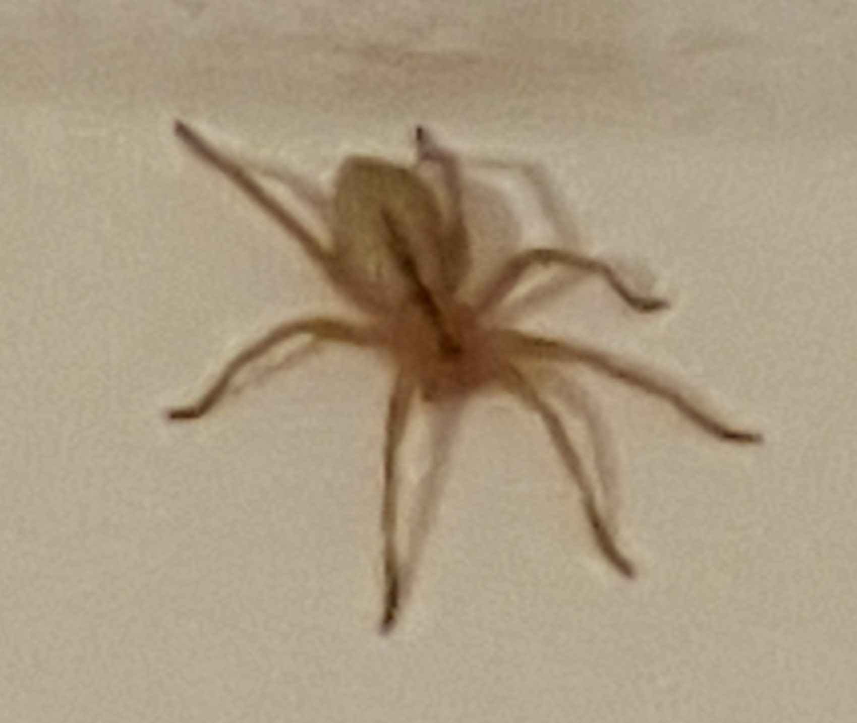 Picture of Sparassidae (Giant Crab Spiders) - Dorsal