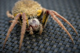 Picture of Eriophora ravilla (Tropical Orb-weaver) - Eyes