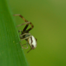 Picture of Misumena vatia (Golden-rod Crab Spider) - Male - Lateral