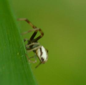 Picture of Misumena vatia (Golden-rod Crab Spider) - Male - Lateral