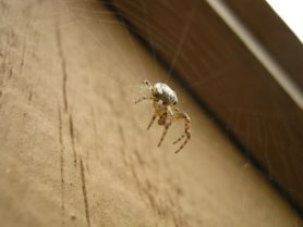 Picture of Larinioides spp. (Furrow Spiders) - Male - Lateral,Webs