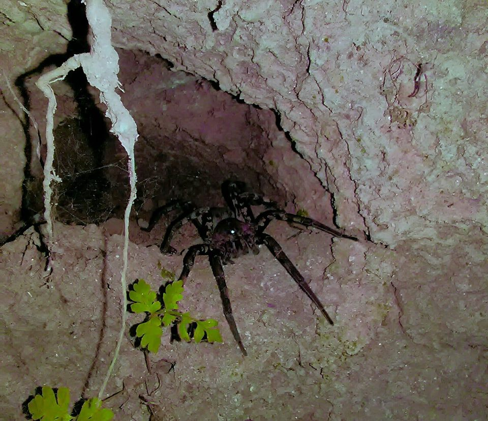 Picture of Ctenidae (Wandering Spiders) - In Retreat