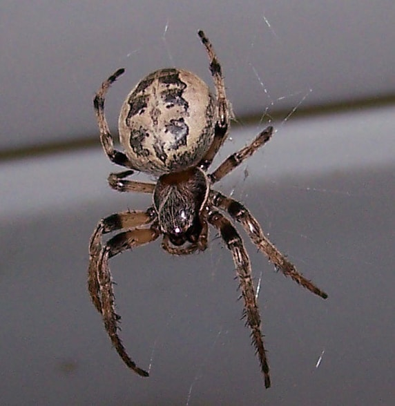 Picture of Larinioides cornutus (Furrow Orb-weaver) - Female - Dorsal,Webs