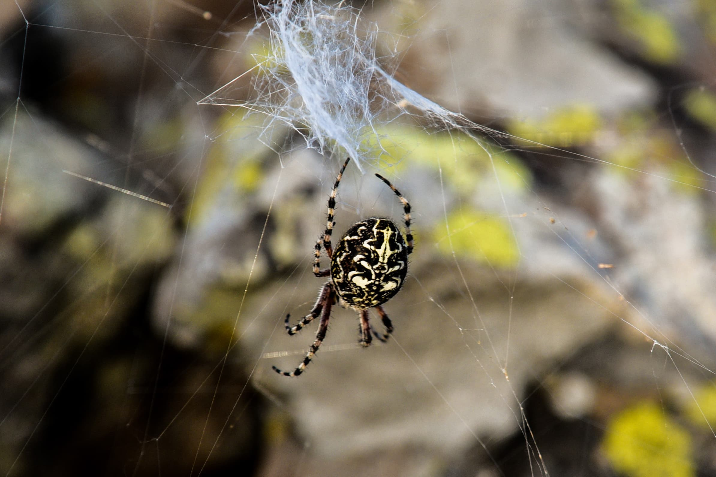 Picture of Aculepeira - Dorsal,Webs