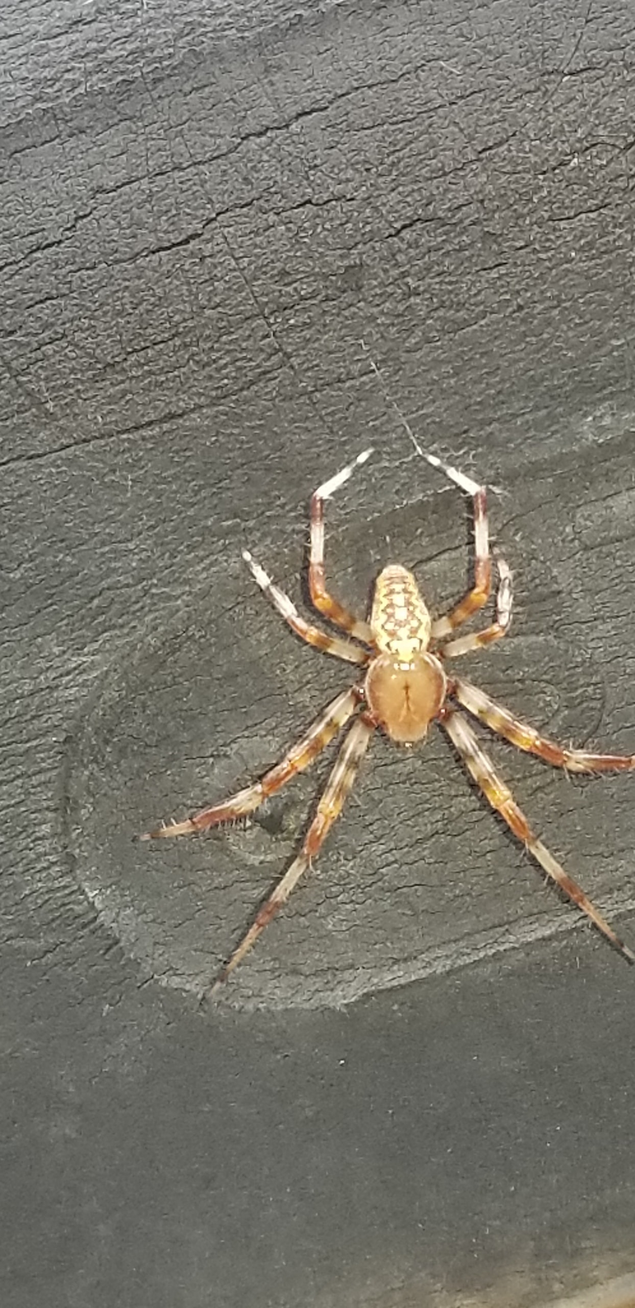 Picture of Araneus marmoreus (Marbled Orb-weaver) - Male - Dorsal