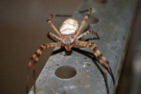 Picture of Argiope trifasciata (Banded Garden Spider) - Eyes