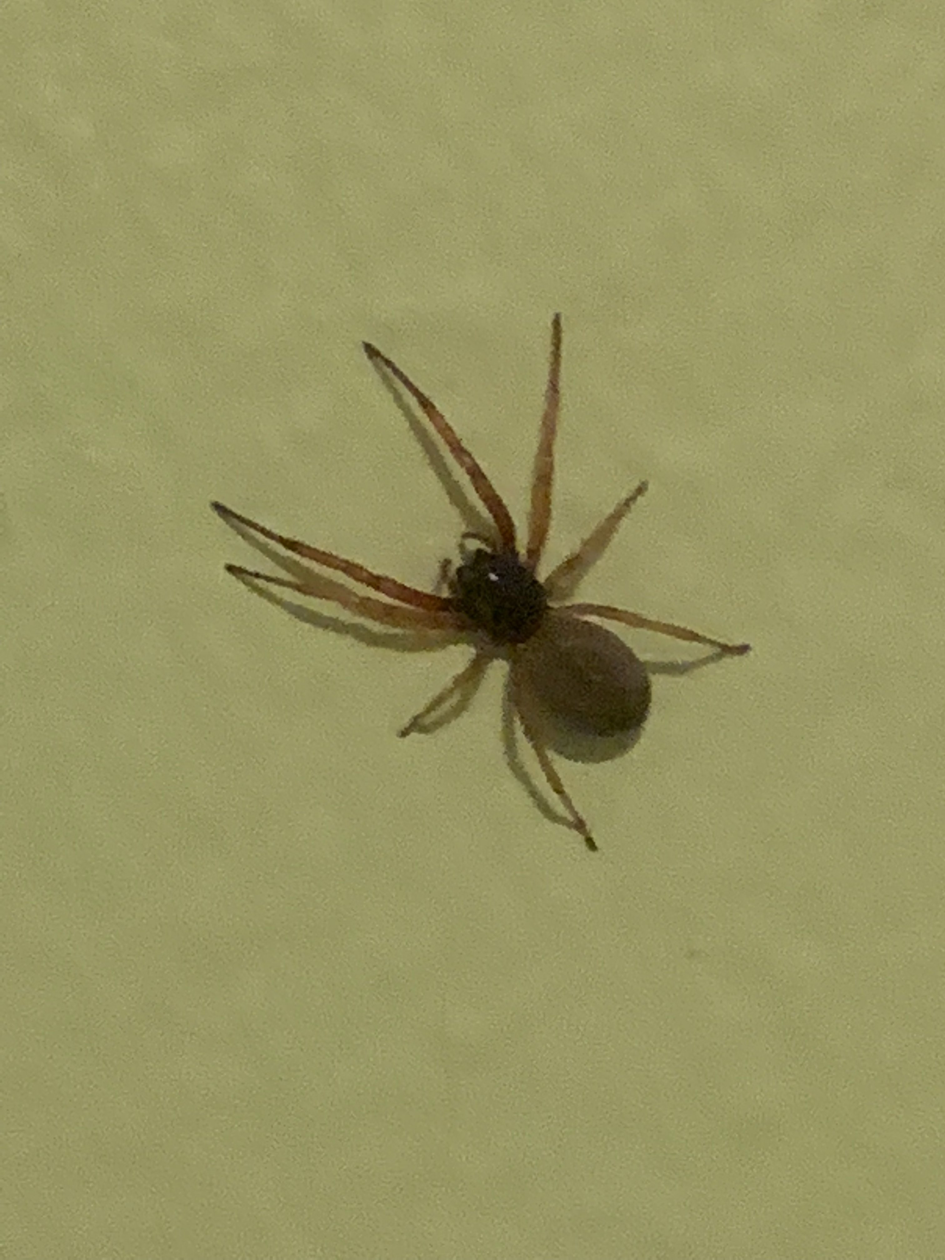 Picture of Trachelas tranquillus (Broad-faced Sac Spider) - Dorsal