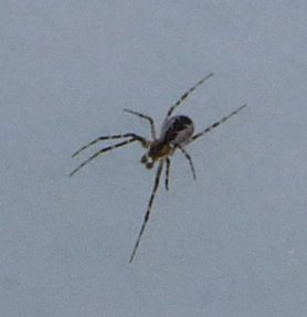 Picture of Pityohyphantes spp. (Hammock Spiders) - Dorsal