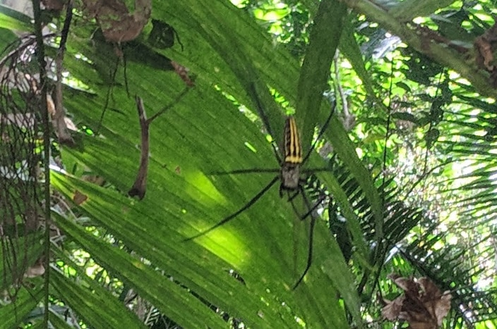 Picture of Nephila pilipes (Giant Golden Orb-weaver) - Dorsal