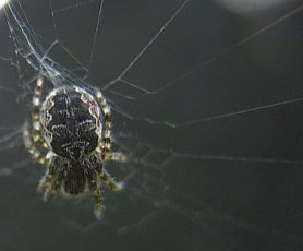 Picture of Larinioides spp. (Furrow Spiders) - Dorsal,Webs