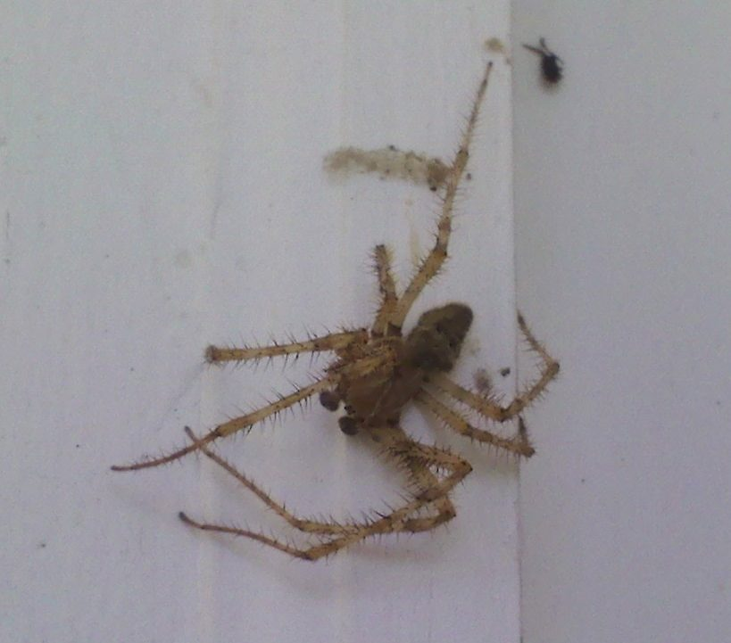 Picture of Araneus cavaticus (Barn Orb-weaver Spider) - Male - Dorsal