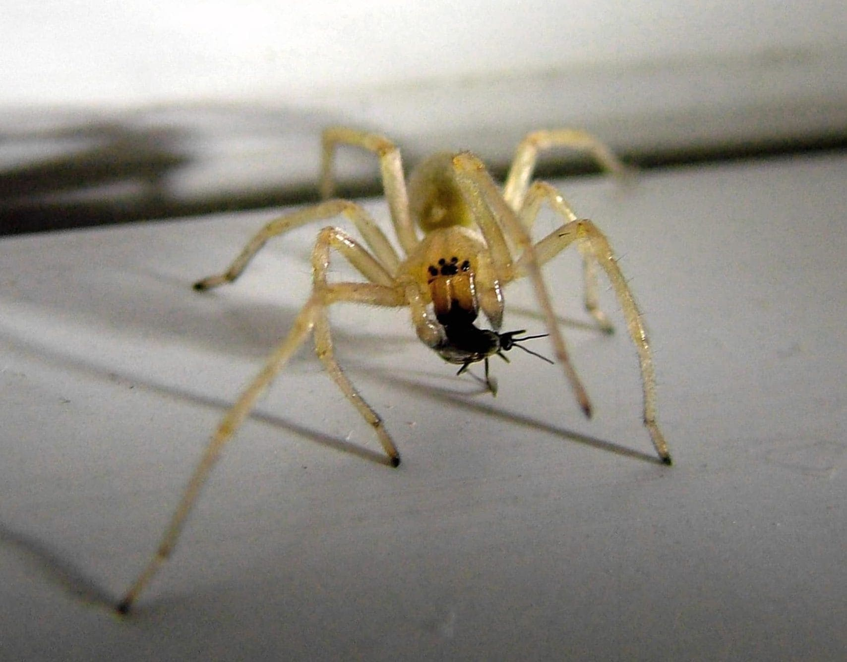 Picture of Cheiracanthium mildei (Long-legged Sac Spider) - Male - Eyes,With Prey