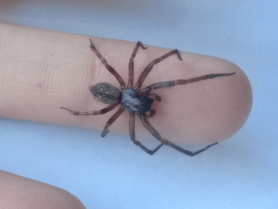 Picture of Badumna longinqua (Grey House Spider) - Male - Dorsal