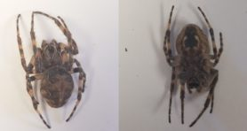 Picture of Larinioides sclopetarius (Bridge Orb-weaver) - Female - Dorsal,Ventral