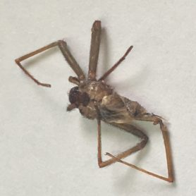 Picture of Loxosceles reclusa (Brown Recluse) - Dorsal