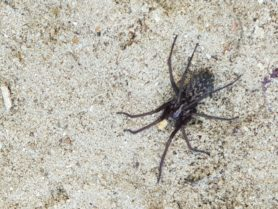 Picture of Eratigena spp. - Dorsal