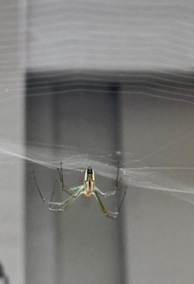 Picture of Leucauge argyra - Dorsal,Webs