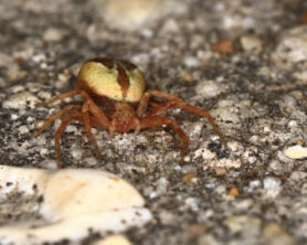 Picture of Philodromus floridensis - Eyes