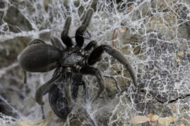 Picture of Kukulcania spp. - Female - Lateral,Webs,Prey