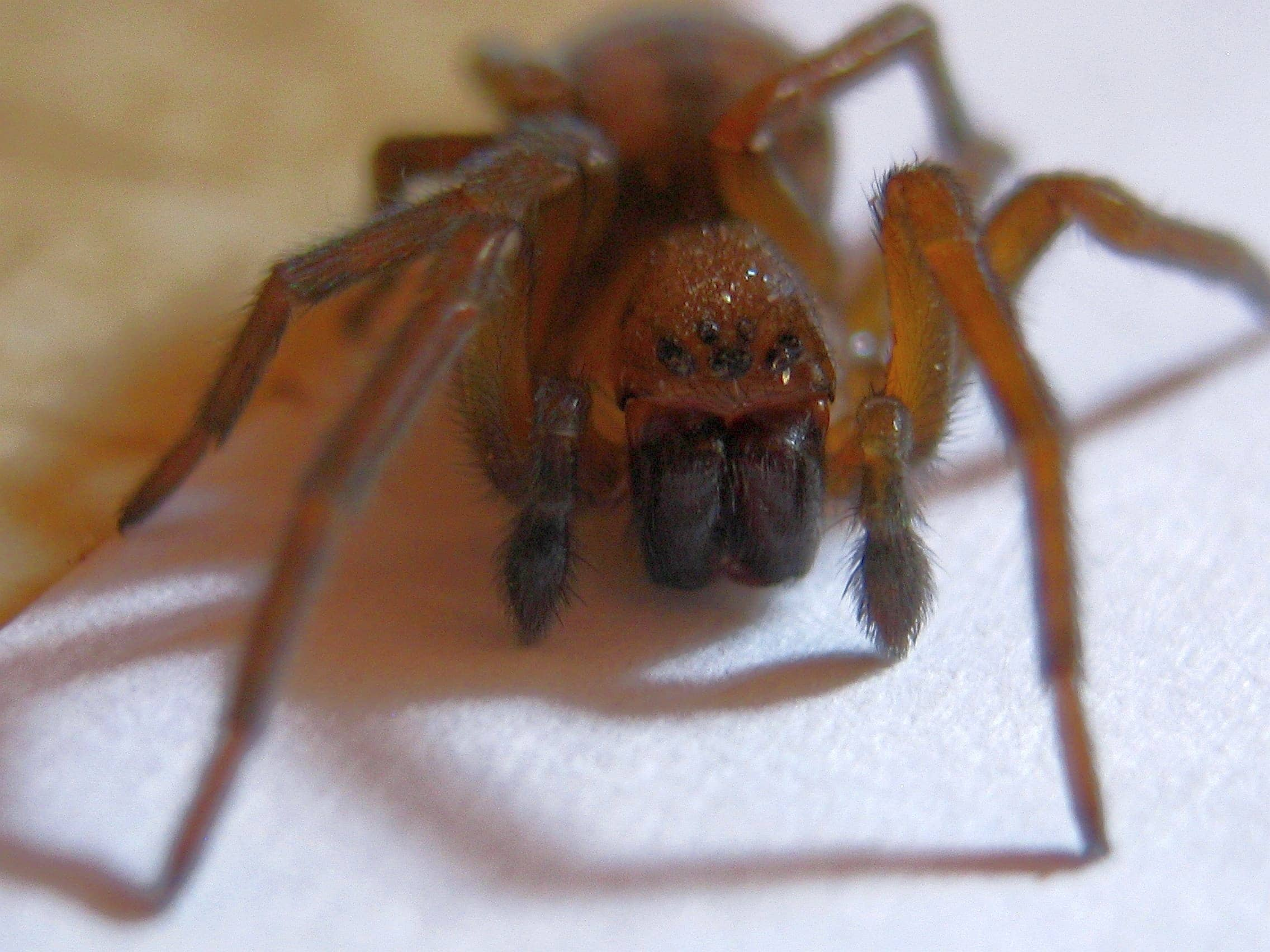 Picture of Callobius bennetti - Male - Eyes