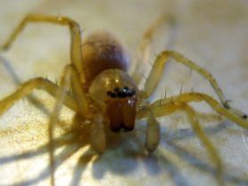 Picture of Clubionidae (Sac Spiders) - Male - Eyes