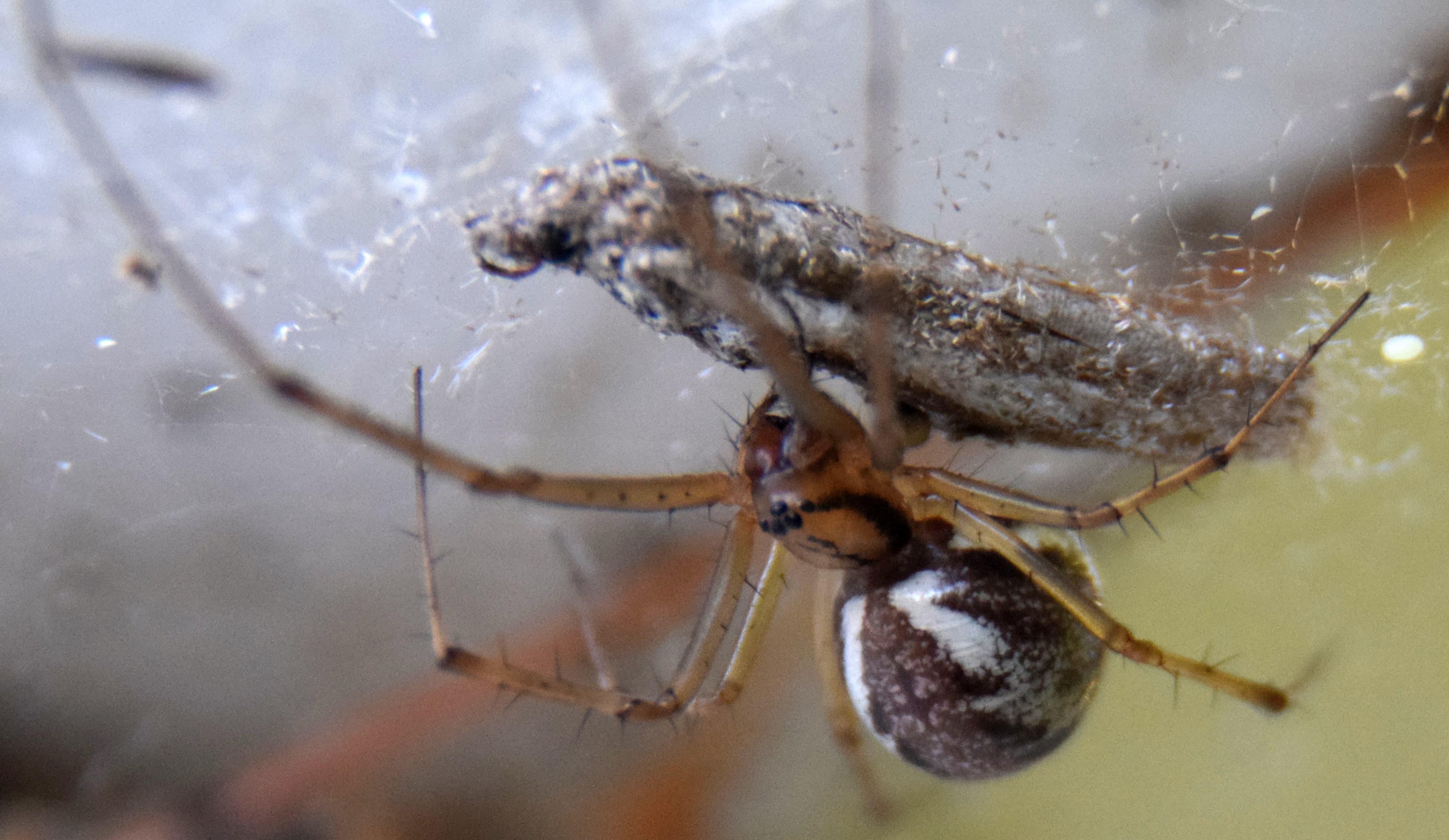 Picture of Linyphia triangularis (European Sheetweb Spider) - Lateral