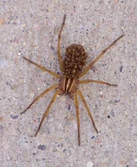 Picture of Rabidosa spp. - Female - Dorsal,Spiderlings