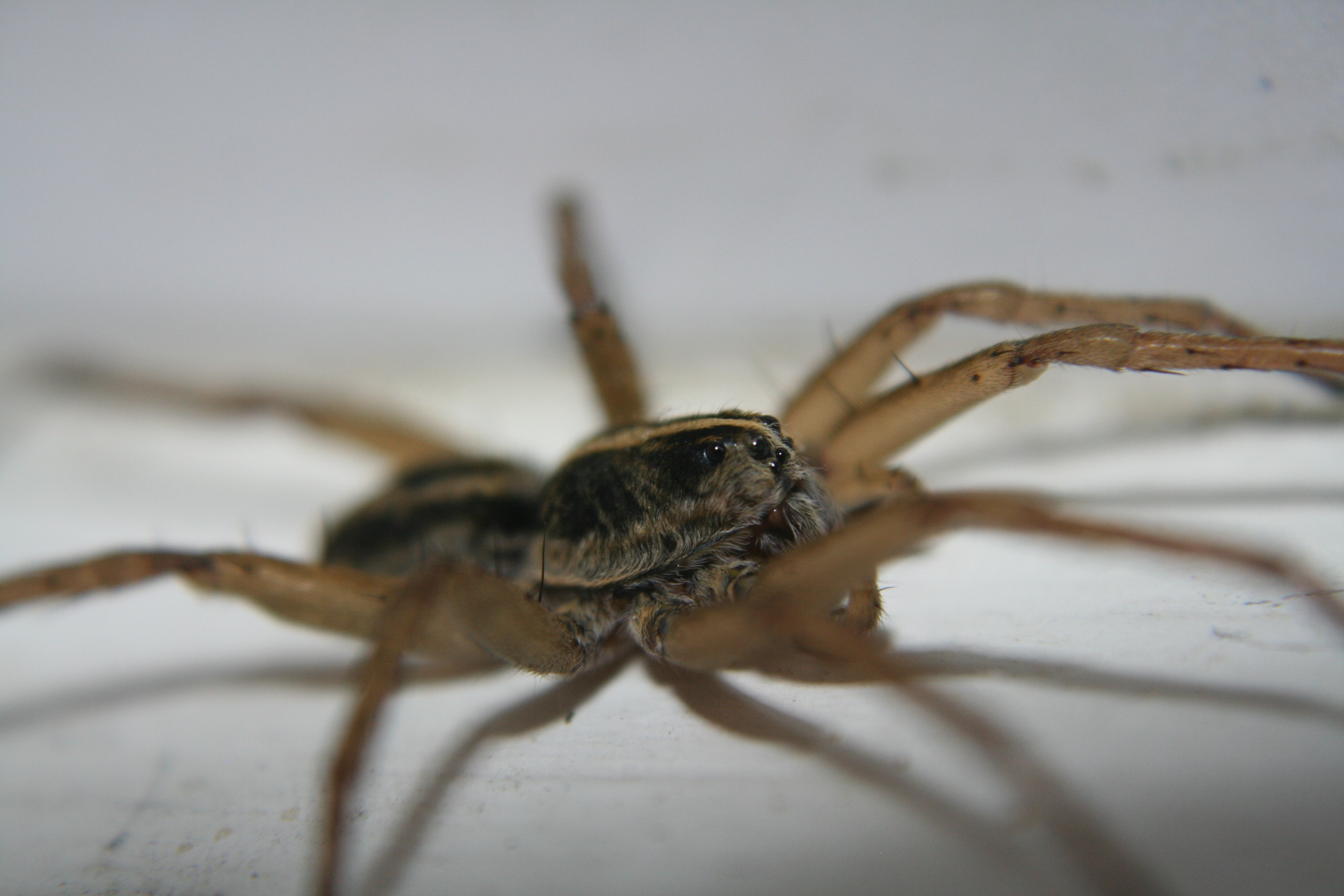 Picture of Tigrosa helluo - Male - Lateral