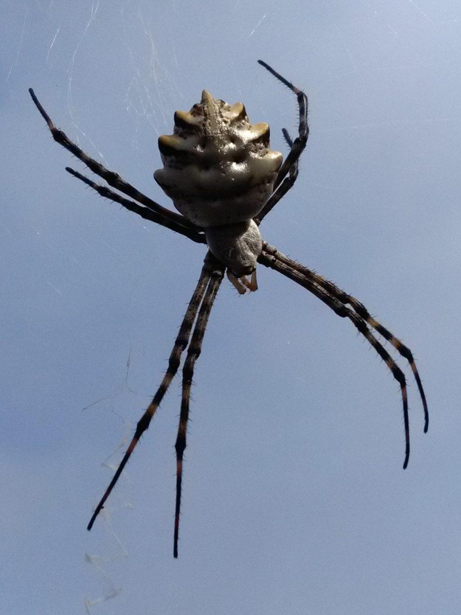 Picture of Argiope lobata (Lobed Argiope) - Dorsal,Webs