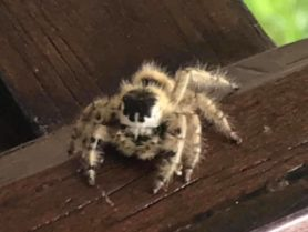 Picture of Phidippus otiosus (Canopy Jumping Spider) - Eyes