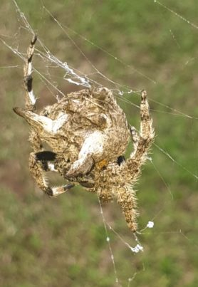 Picture of Caerostris spp. (Bark Spiders) - Dorsal