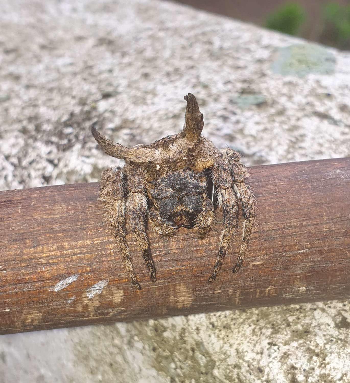 Picture of Caerostris (Bark Spiders)