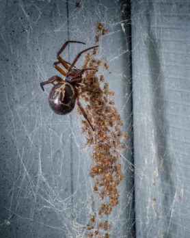 Picture of Steatoda nobilis (Noble False Widow) - Female - Dorsal,Spiderlings,Webs