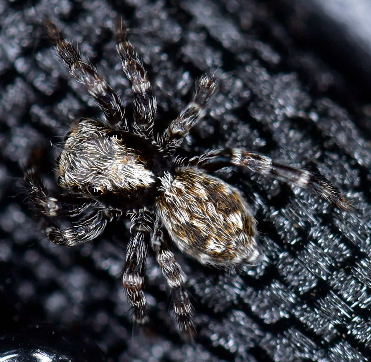 Picture of Pseudeuophrys lanigera (Fleecy Jumper)