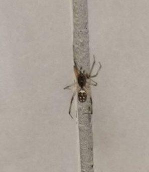 Picture of Steatoda capensis (False Katipo Spider) - Male - Dorsal