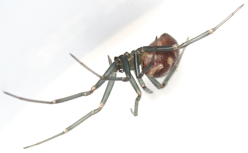 Picture of Steatoda grossa (False Black Widow) - Female - Lateral