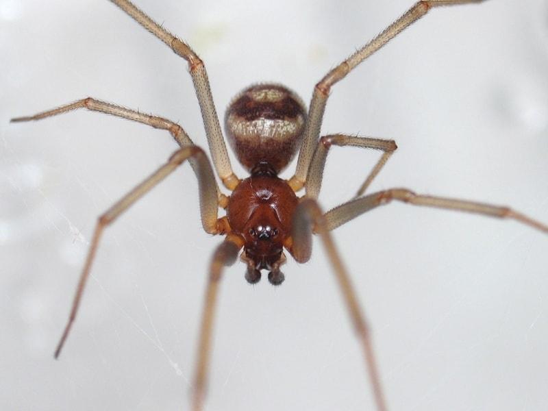 Picture of Steatoda grossa (False Black Widow) - Male - Eyes