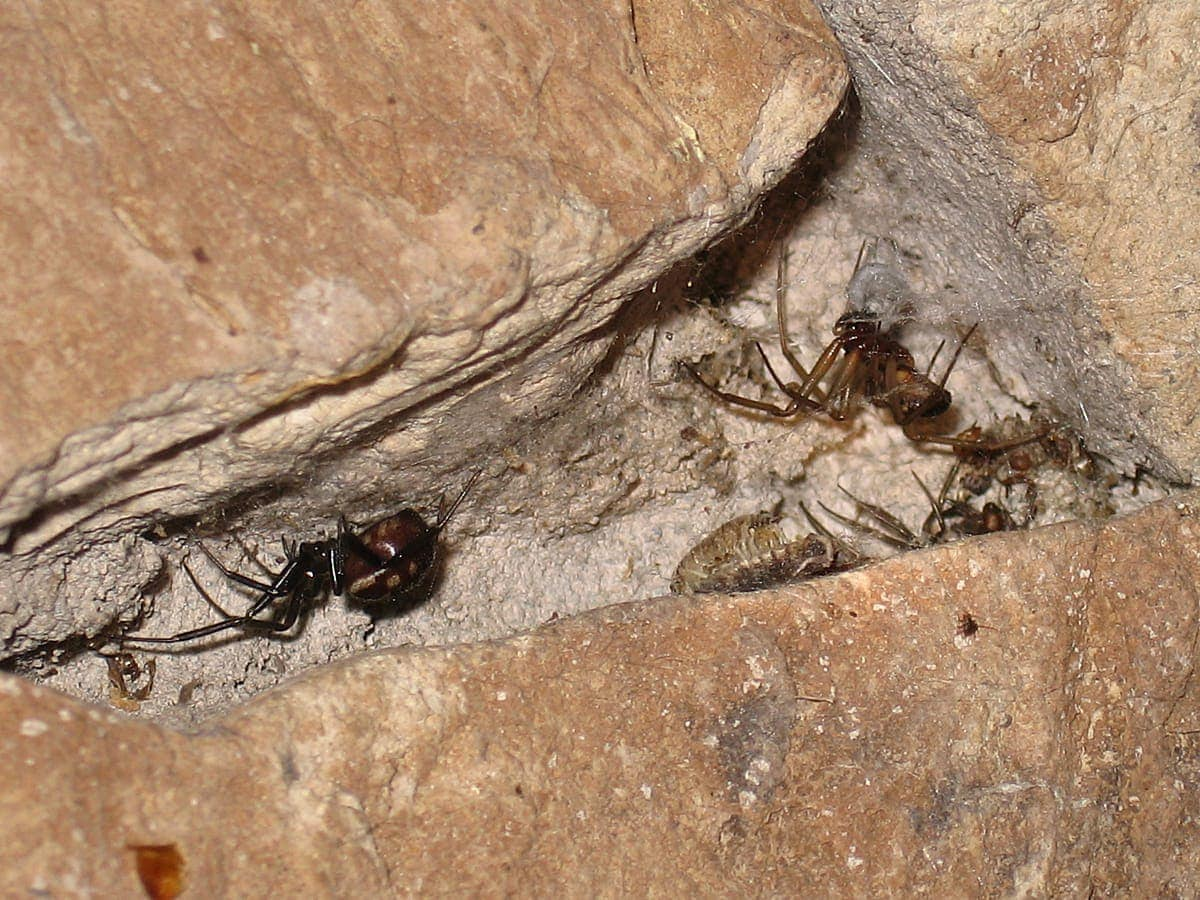 Picture of Steatoda grossa (False Black Widow) - Male,Female - Lateral